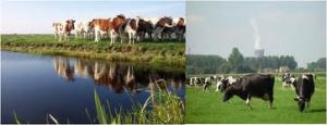 cows on canal