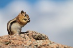 Chipmunk_on_Rock_Eating